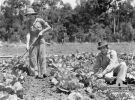 ATHERTON, QLD. 1943-10-23. Members of the Australian Women's Land Army weeding a cabbage patch